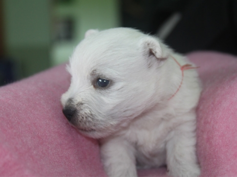 щенок Вест Хайленд - MECHTA NATALY SIEGER (розовая нитка)